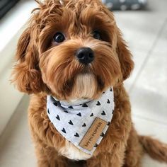 Cavapoo Puppies: Information, Characteristics, Facts, Videos - Cavapoo Puppies - Animals Pictures Cute Baby Dogs, Cute Little Puppies, Cute Dogs And Puppies, Cute Baby Animals, Pet Dogs, Doggies, Tiny Puppies, Cutest Dogs, Animals Dog