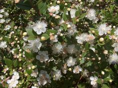 Myrtle Essential Oil...Some Uses: Can help when treating OCD and other anxiety disorders. Helps to clarify, purify, and protect the psyche. To improve mental focus, diffuse 3 drops each of Myrtle and Rosemary. Works great in soap. Helps you cope with anger.