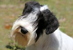 Sealyham Terrier Information | American Kennel Club
