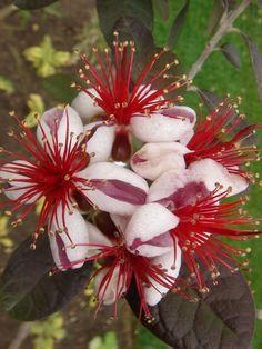 Pineapple Guava, Feijoa (Acca sellowiana)