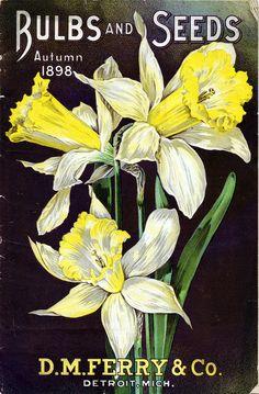 vintage daffodil seed packet