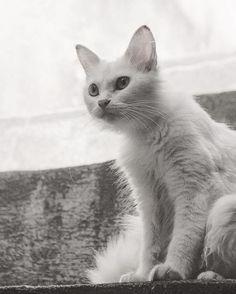 Molly e sua iluminação de musa do cinema 2/2 :: Projeto Xerimbabo ~  #petphotography #fotografiapet #pet #animal #animaux #bicho #amobicho #bichano #gato #mãedegato #horadogato #gatosbrasil #loucadosgatos #instagato #gatto #chat #neko #nekostragam #cat #catlovers #catsofinstagram #instacat #caterday #lovecats #meowmeow #canon #canonbr #135mm #xerimbaboproject #bw_lover