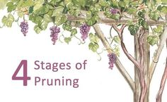 Training grapevines on an arbor