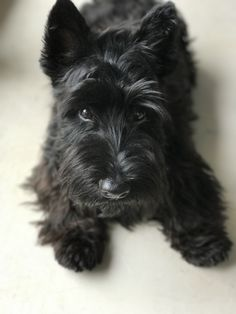 Scottie Notre!Max almost 6 months ... time goes fast with this funny guy