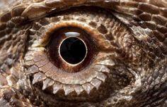 Bearded dragon eye :D Pet Dragon, Dragon Eye, Darth Caedus, Lizard Types, Eyes Wallpaper, Wild Eyes, Reptiles And Amphibians, Bearded Dragon, Creature Design