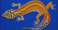 Geckos Etc. - another online breeder specializing in leopard geckos.