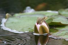 Frog climbing out of a lily
