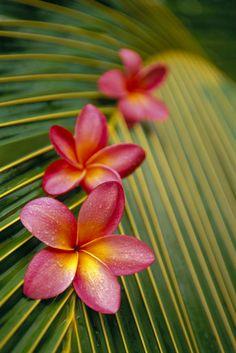love-knot:    Pink Plumeria…
