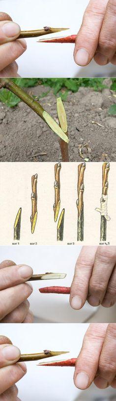Самый простой и доступный способ прививки деревьев.