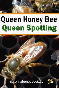 Learn how to spot the queen bee in your hive. Tips to help you get the job done. Backyard Beekeeping, Chickens Backyard, Honey Bee Life Cycle, Bee Facts, Shade Grass, Garden Insects, Worm Farm, Worm Composting, Save The Bees