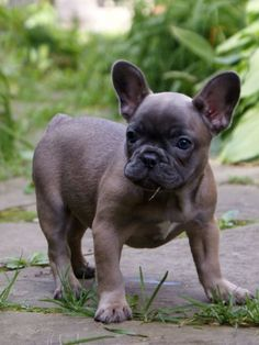 Blue Fawn French Bulldog Puppy