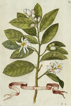 Giovanni Ferrari  Orange Blossom  1647