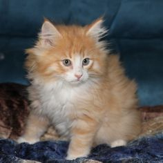 Norwegian forest cat (from Borealis)