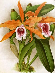 Items similar to Antique Botanical Print Orchid Wall Art Tropical Decor Wall Hanging Housewarming gift orange floral print Giclee Art Print on Etsy Botanical Flowers, Botanical Prints, Floral Prints, Arte Floral, Nature Illustration, Botanical Illustration, Illustration Botanique Vintage, Orange Orchid, Orange Pink