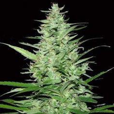 Indoor Mix Feminized Cannabis Seeds - 20% Discount -> http://www.cannabis-discounts.com/weed-seed-shop/indoor-mix-feminized-cannabis-seeds-20-discount