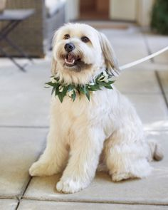 Wyatt, the terrier mutt rescue dog that this couple adopted together, wore a collar of stephanotis and camellia leaves with a white satin-ribbon leash