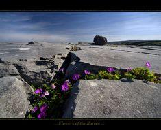 Flowers of the Burren