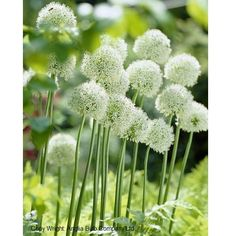 Allium White Giant. Robust, Frost Hardy, clump forming perennial. Thrives best in half to full sun, with well-drained soil. This giant Allium grows to a magnificent 150cm, (4-5ft). They look fantastic on their own or in the herbaceous border. Another plant that can be grown with these, that flowers at the same height is the Allium Gigantuem also the Eremurus (foxtail lilies) as they flower at the same time, these plants together can produce a magnificent display. All Allium are very easy to…