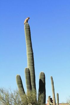 Never in my life would have thought this was possible....(bobcat sitting atop a 40 foot tall Saguaro cactus in the Arizona desert)