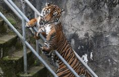 SAN FRANCISCO, CA - APRIL 12: A two-month-old Sumatran tiger cub is carried by its mother Leanne in their enclosure at the San Francisco Zoo on April 12, 2013 in San Francisco, California. The san Francisco Zoo introduced a two-month-old Sumatran tiger cub to the public for the first time since it was born. (Photo by Justin Sullivan/Getty Images)