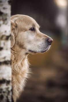 Chien Golden Retriever, Golden Retrievers, Retriever Dog, Beautiful Dogs, Animals Beautiful, Cute Animals, Beautiful Dog Pictures, I Love Dogs, Cute Dogs
