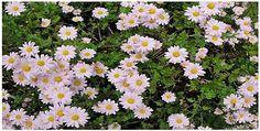 Pink-Daisy-Chrysanthemum-Perennial-Flower-100-Seeds