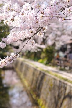 Cherry Blossoms, Philosopher's Walk, Kyoto, Japan 哲学の道