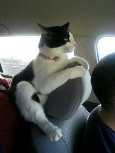Who says cats don't like riding in cars? - - Who says cats don't like riding in cars? Courdney Wer sagt, dass Katzen nicht gerne im Auto fahren? Funny Cats, Funny Animals, Cute Animals, Crazy Cat Lady, Crazy Cats, I Love Cats, Cool Cats, Photo Chat, Beautiful Cats
