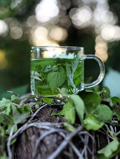 Mugwort, hop and nettle leaf infusion ... potent health tonic