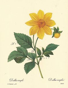 Yellow Dahlia, a Pierre Redoute Botanical Print, -this is a good source for printable botanical art, vintage illustrations, maps, and digital supplies