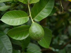 kaiserzitrone-citrus-limon-x-citrus-paradisii-die-zitrone-mit-der-kaiserlichen-groesse-2277938_1.jpg (1200×900)