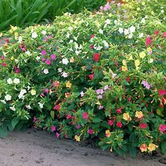 Four O Clock Seed Mix Mirabilis jalapa - Wildflower Seed from American Meadows Bulb Flowers, Table Flowers, Four Oclock Flowers, Bulbous Plants, American Meadows, Four O Clock, Ivy Plants, Garden Plants, Growing Roses