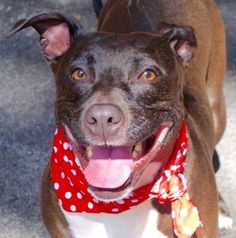 SAFE |9-20-2015 by All Breed Rescue, Vermont --- Manhattan Center RUBY – A1050464 FEMALE, BLACK / WHITE, AM PIT BULL TER / STAFFORDSHIRE, 4 yrs OWNER SUR – EVALUATE, NO HOLD Reason NO TIME Intake condition EXAM REQ Intake Date 09/05/2015 http://nycdogs.urgentpodr.org/ruby-a1050464/