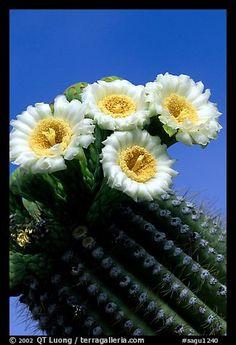 Saguaro cactus flowers against blue sky. Saguaro National Park
