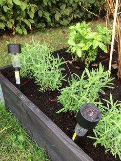 basil, basilika, pallkrage, odla, plant, lavendel, lavender, gardening, garden, trädgård, inspiration