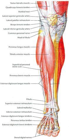 #MuscleAnatomy