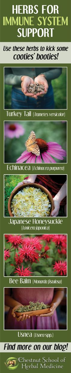 Herbs for Immune System Support // Chestnut School of Herbal Medicine  #echinacea #elderberry #herbalife #herbalmedicine #herbalist #herbalism #immunesystem