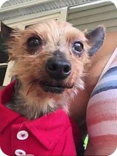 Doylestown, PA - Yorkie, Yorkshire Terrier. Meet Mac, a dog for adoption. http://www.adoptapet.com/pet/13140853-doylestown-pennsylvania-yorkie-yorkshire-terrier