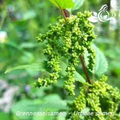 Brennesselsamen – Urtica semen   Gerade kann man sie wieder sammeln die Brennesselsamen (Urtica semen). Sie unterstützen unsere Gesundheit und die Fruchtbarkeit bei Mann und Frau. Daher sind sie die perfekte Ergänzung zur alltäglichen Ernährung bei Kinderwunsch.   Für mehr Infos besuche meinen Blog auf www.naturheilkunde-fuer-Frauen.de?utm_content=buffer88d03&utm_medium=social&ut…