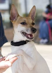 Bella is an adoptable Rat Terrier Dog in Minneapolis, MN. *Bella will not be at the next Adoption event* Please request an online application at pethavendogs@yahoo.com. Age:  4 yrs Good with dogs: Yes...
