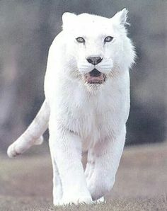 Albino Tiger...Just a few light rings on tail; truthfully I think this is better classified as a 'white' Tiger ??