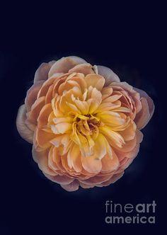 October Rose: http://fineartamerica.com/profiles/robert-bales/shop/all/all/all