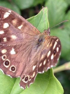 Speckled wood in our garden