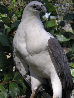 The White-bellied Sea Eagle (Haliaeetus leucogaster) is a large diurnal bird of prey in the family Accipitridae.