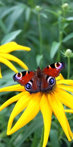 Peacock butterfly on a flower. #Butterfly #Insects #Animals #Peacock