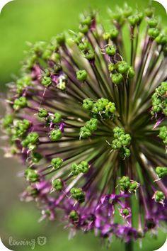 LÖwin.g: Zierlauch Kugellauch Allium