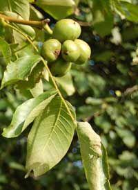 Walnuts growing on a walnut tree