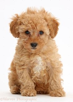 Bronson Red Toy Poodle