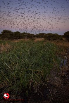 Red-billed Queleas coming in to roost by the gazillion. Red Bill, Rest Of The World, Africa Travel, Travel Guide, South Africa, Safari, Sunset, Outdoor, Outdoors