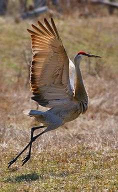 ˚Sandhill crane doing a dance as they do in courtship